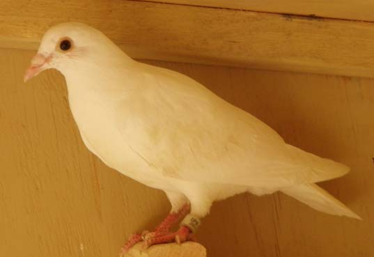 white homing pigeon for sale